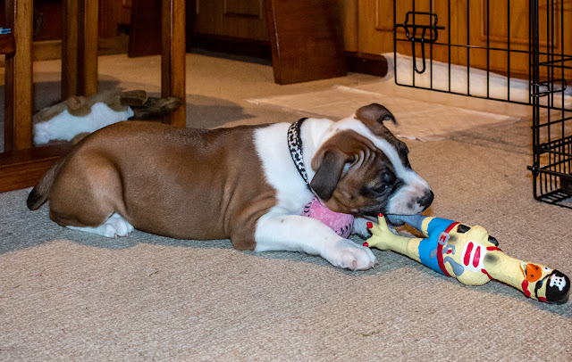 Photo of Ruby playing with her squeaky chicken pirate toy