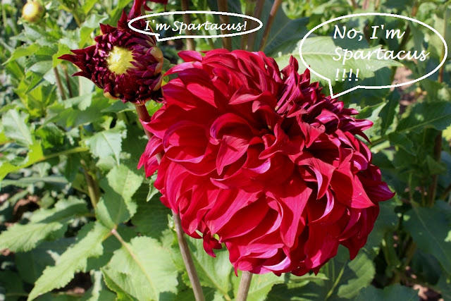 Guess what Dahlia 'Spartacus' is saying