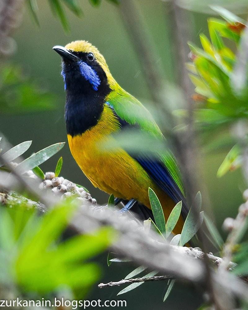 Birds: Birds Of Peninsular Malaysia: Orange Bellied Leafbird