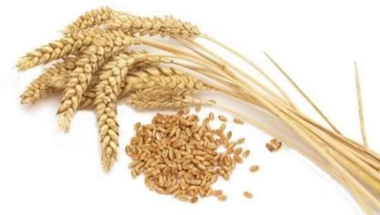 فؤائد القمح الصحيه و العلاجيه للجسم. للتفاصيل من هنا 👎👎