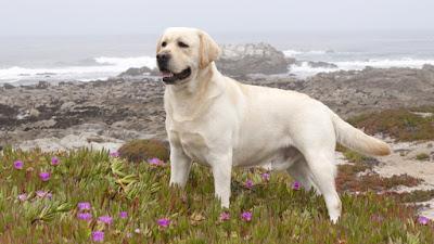 Instintos del perro Labrador