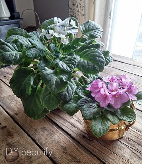 African violets with blooms