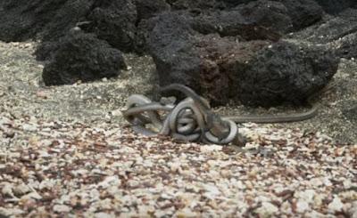 Απίστευτο βίντεο επιβίωσης: Δεκάδες πεινασμένα φίδια κυνηγούν μωρό ιγκουάνα