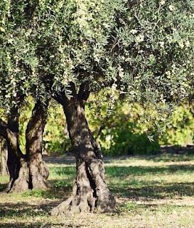 Cultivo e tratamento do olival