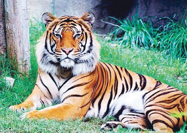 Harimau betina bunuh pasangan garagara cemburu  manmala