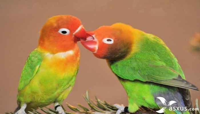 14 Jenis Burung Lovebird Lengkap Gambar, Nama, Warna dan Penjelasannya