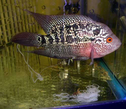 NEW DISCOVERED CURES FOR XEXA PROBLEMS OF FLOWERHORN FISH