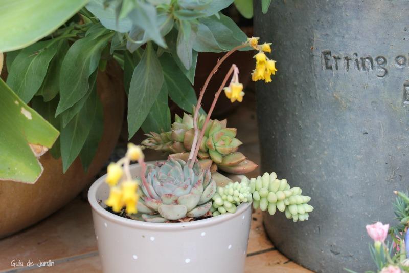 Echeveria floreciendo
