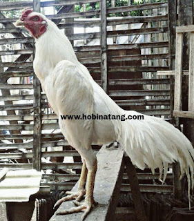 Jenis Ayam Bangkok Putih