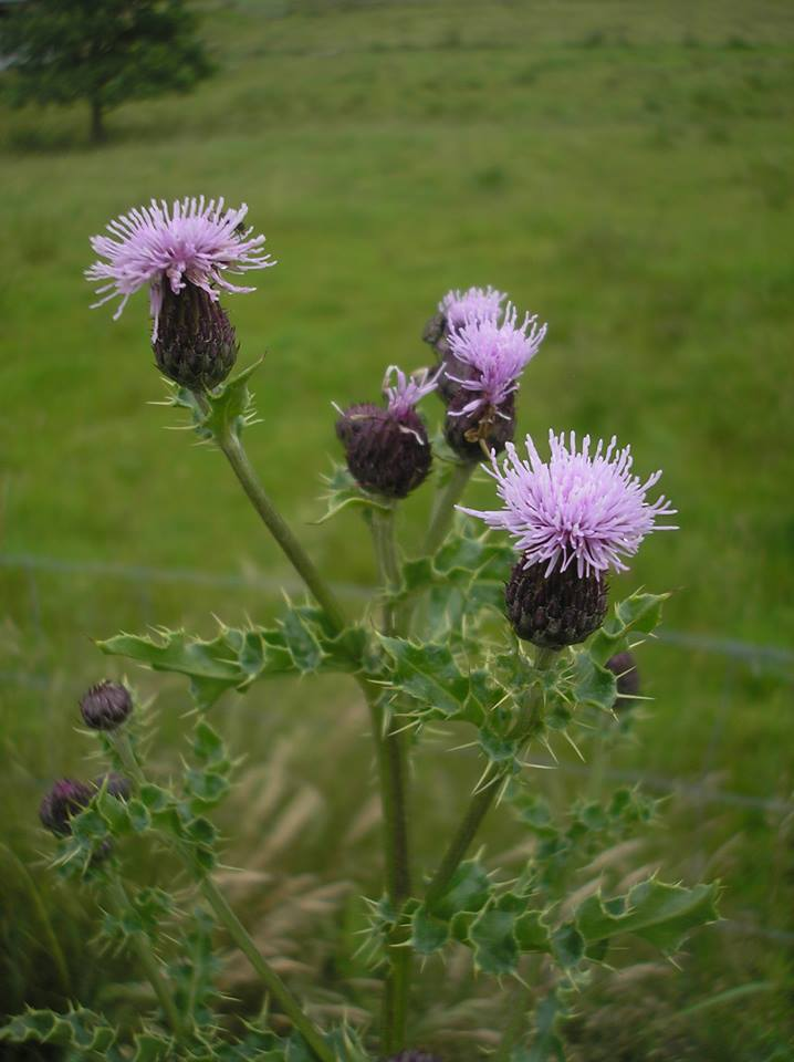 Thistles, All Things Prickly Doesn't Mean Toss It Away ...