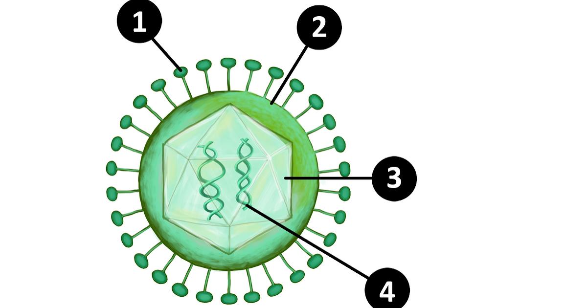 Virusten Lisääntyminen