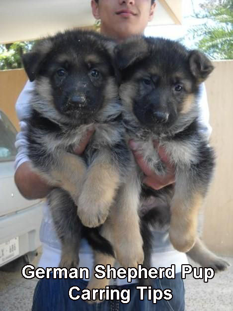 German Shepherd Pup Carring Tips