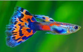 Ikan Hias Kecil Jenis Guppy
