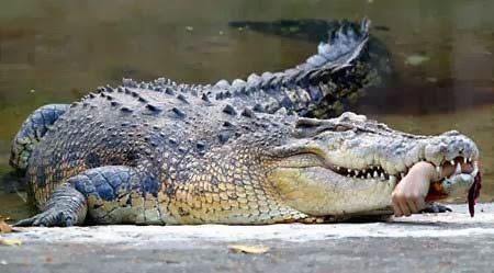 Alligator Food
