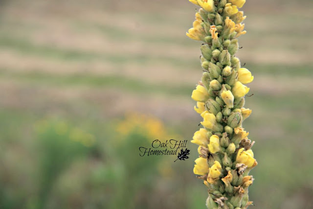 It can take awhile to gather enough flowers to make mullein oil. Remember to harvest ethically!
