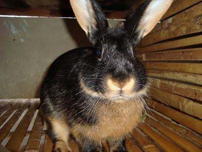 kelinci tan yang ada di indonesia