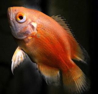 Jenis Ikan Oscar dan Harganya, Oscar Red