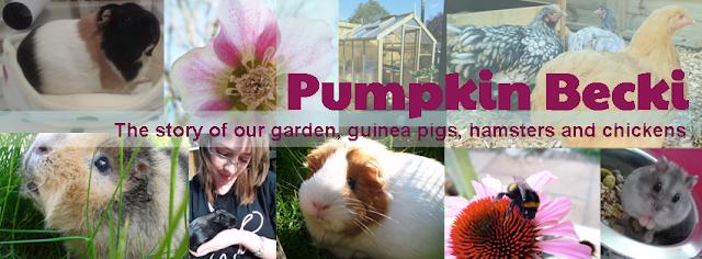 Pumpkin Becki Facebook page garden guinea pig hamster chicken
