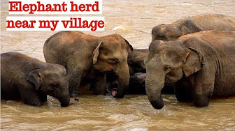 RARE VIEW | FOREST ELEPHANT HERD NEAR MY VILLAGE | IN SEARCH OF FOOD