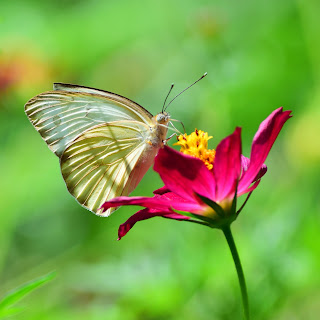 Puriscal Butterfly