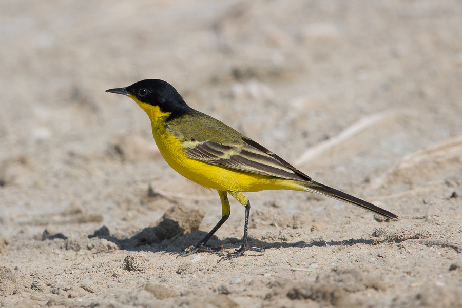 Black-headed Wagtail – Jubail