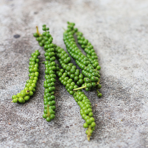 harvested green pepper fruits to make into black peppercorn spice