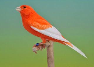 Burung Kenari - Solusi Penangkaran Burung Kenari -  Kode Ring Kenari Import Pada Negara