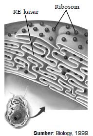 Nama Bagian-Bagian Organel Sel dan Fungsi dari Nukleus (Inti Sel), Retikulum Endoplasma, Ribosom, Badan Golgi, Mitokondria, Lisosom, Sentriol, Plastida, Vakuola dan Dinding Sel