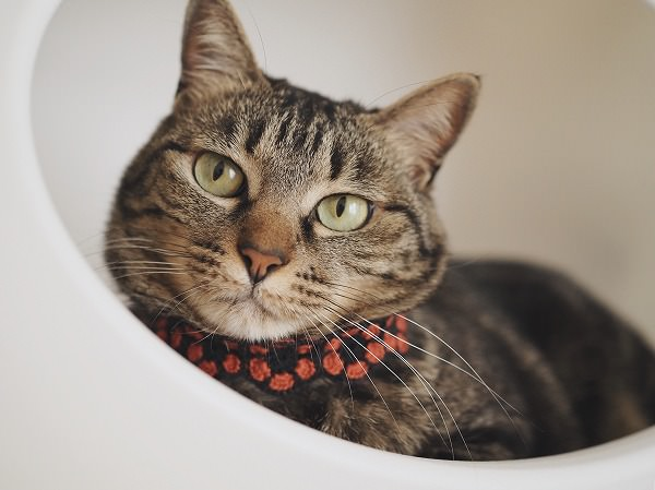 オレンジと黒のレトロなお花の首輪をつけたキジトラ猫