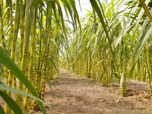 Bisnis Pertanian Tebu
