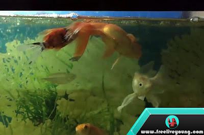 Disease in Goldfish and how to treat it