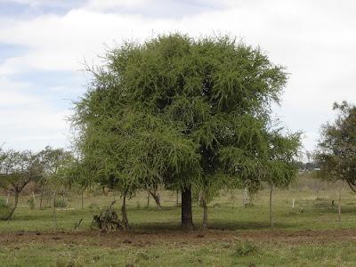 arboles de Argentina Quebrachillo Acanthosyris spinescen