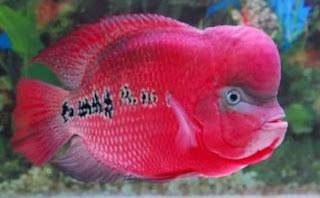 Gambar ikan louhan terbaik
