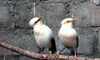 Perbedaan Burung Jalak Putih Jantan dan Betina