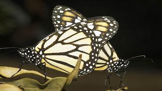 Pasangan Kupu-kupu