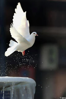 a flying dove of the holy spirit