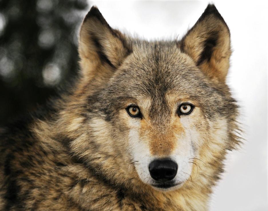 Lobos Salvajes Fotos