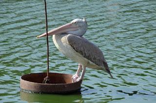 Pelikan - pelican