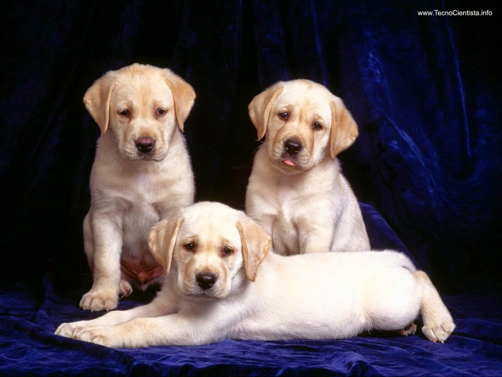 labrador golden retriever
