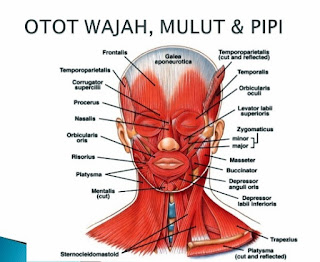 daftar otot wajah lengkap pada muka manusia