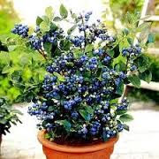 Knowing the Type and Blueberry Planting the Right Way And Its Benefits Blueberry