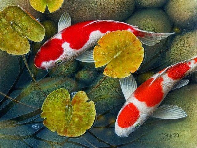 Cara Memunculkan Warna Ikan Koi