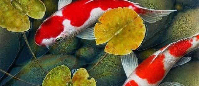 Cara Memunculkan Warna Ikan Koi secara Cepat dan Alami