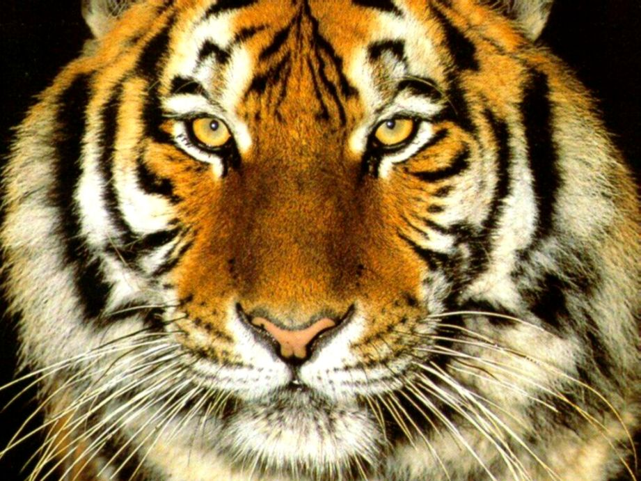 Angry Tiger Face Wallpaper Wallpapers Colorful