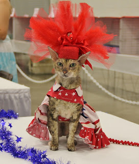 Coco the Couture Cat is Little Miss America!