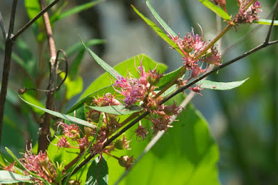 Band-winged Meadowhawk (Sympetrum semicinctum)