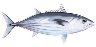 13 Khasiat Ikan Cakalang Untuk Kesehatan Dan Kecantikan