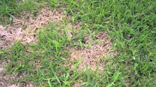 dethatching st augustine grass