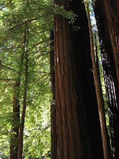 Stand of redwoods near the store in Big Basin Redwoods State Park, California