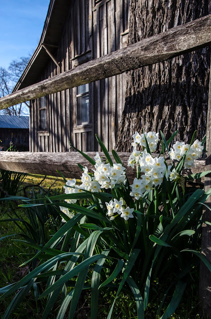 http://judy-wilder-dalton.pixels.com/featured/paperwhites-at-the-old-fence-judy-wilder-dalton.html